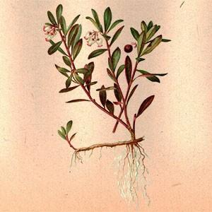 Толокнянка (лист)