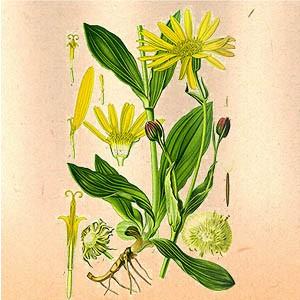 Арника (цветки)