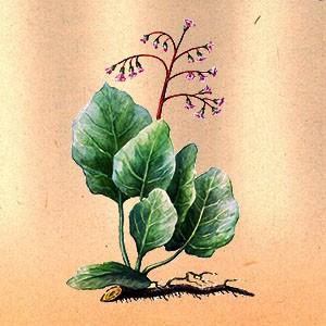Бадан (лист)
