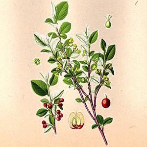 Боярышник (плоды)