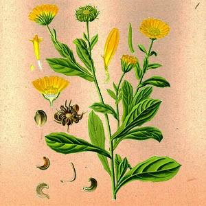 Календула цветы (цветы ноготков)