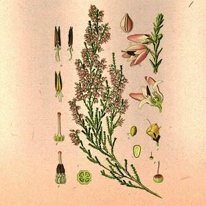 Вереск (трава)