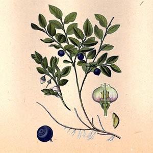 Черника (плоды)