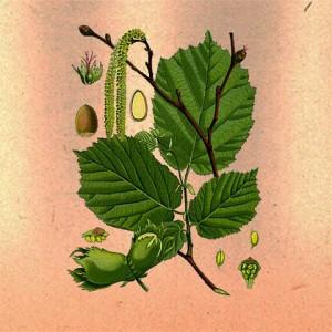 Лещина (лист)