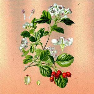 Боярышник (цветки)