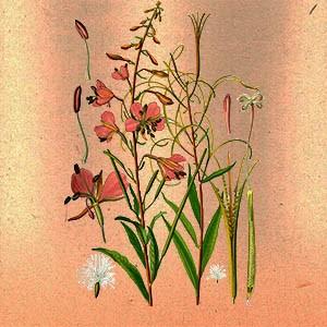 Кипрей узколистный (иван-чай) трава