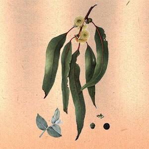 Эвкалипт (лист)
