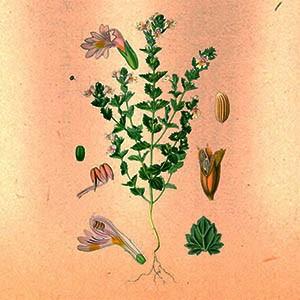 Очанка (трава)