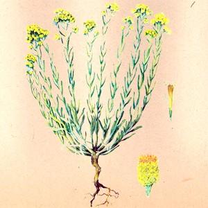 Бессмертник (цветки)