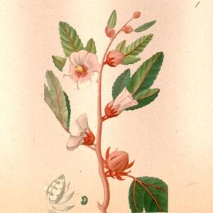 Гибискус (цветок)