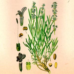 Лаванда (цвет)