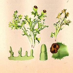 Исландский мох (слоевища)