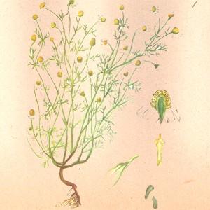 Ромашка (цвет)