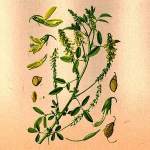 Донник (трава)