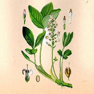 Вахта трёхлистная (лист)