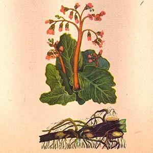 Бадан (корень)