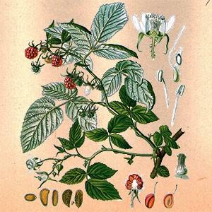 Малина (лист)