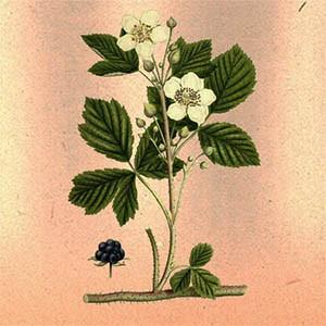Ежевика (листья и побеги)