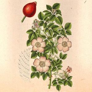 Шиповник (плоды)