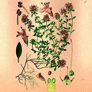 Чабрец (трава)