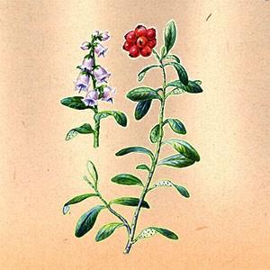 Брусника (лист)
