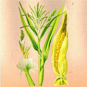Кукуруза (столбики с рыльцами)
